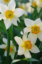 Preview iPhone wallpaper Spring, beautiful daffodils