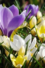 Preview iPhone wallpaper Spring flowers, crocuses, purple, white, yellow