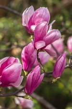 Preview iPhone wallpaper Spring flowers, pink magnolia