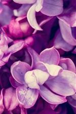 Spring, purple lilac flowering, macro photography