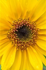 Preview iPhone wallpaper Sunflower, yellow petals, water drops