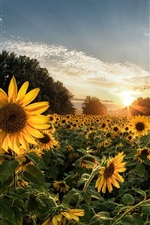 Sunflowers, sunset, clouds, summer