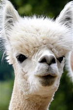 Preview iPhone wallpaper Three alpacas front view, furry