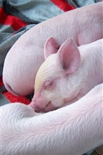 Preview iPhone wallpaper Three little pigs sleep in dream