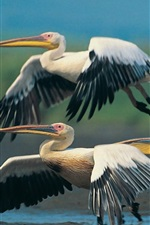 Preview iPhone wallpaper Three pelicans flying, wings
