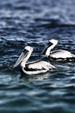 Preview iPhone wallpaper Three pelicans swimming in the sea