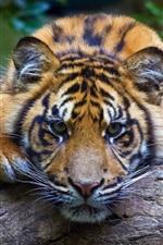 iPhone fondos de pantalla Tiger te mira, vista frontal