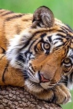 Tiger rest, look at you