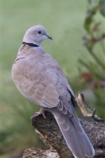 Preview iPhone wallpaper Two gray pigeons, birds, stump