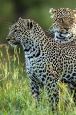 Two leopards, grass, wildlife