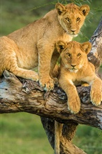 Preview iPhone wallpaper Two lion cubs in tree