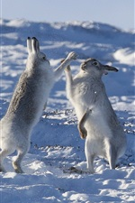 Preview iPhone wallpaper Two rabbits playful in the snow, winter