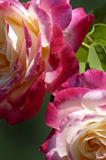 Two rose flowers, pink and white petals