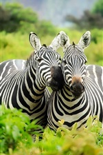 Preview iPhone wallpaper Two zebras, wildlife, Africa