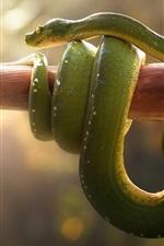 Viper, green snake, stick