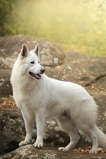 Preview iPhone wallpaper White Swiss shepherd dog look back