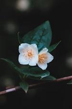 Flores brancas árvore, galhos, folhas, fundo escuro
