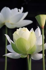 Preview iPhone wallpaper White lotus, stem