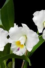 iPhone壁紙のプレビュー 白い蘭、花の写真