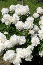 White peonies in the garden