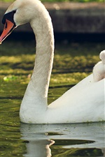 Preview iPhone wallpaper White swan, family, pond, water