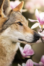 Preview iPhone wallpaper Wolf dog and magnolia flowers