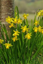 Preview iPhone wallpaper Yellow daffodils flowers, tree, grass