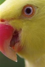 Papagaio amarelo, cabeça, bico