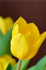 Yellow tulip flowers close-up, blurry background