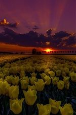Preview iPhone wallpaper Yellow tulips field at night