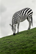 Preview iPhone wallpaper Zebra eat grass, slope, balloon