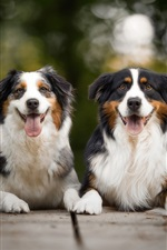Preview iPhone wallpaper Australian shepherd, two dogs