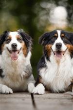 Preview iPhone wallpaper Australian shepherd, two dogs