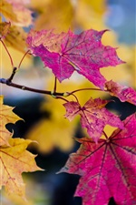 Preview iPhone wallpaper Autumn, purple and yellow maple leaves