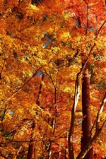 Preview iPhone wallpaper Autumn, trees, forest, red leaves