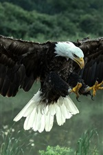Preview iPhone wallpaper Bald eagle flight, wings, feathers, grass