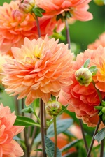 Beautiful orange dahlias, water drops, bee