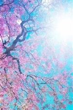 Preview iPhone wallpaper Beautiful sakura, pink flowers, tree, spring, blue sky, sun