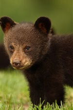 Preview iPhone wallpaper Black bear cub in the grass