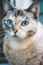 Blue eyes cat look, cute pet
