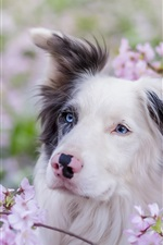 Preview iPhone wallpaper Blue eyes dog, pink flowers, spring