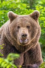 Preview iPhone wallpaper Brown bear front view, bushes