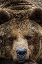 Preview iPhone wallpaper Brown bear look at you, face, eyes, portrait