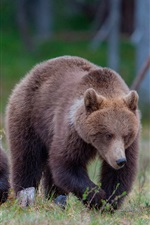 Preview iPhone wallpaper Brown bears, family, grass, forest