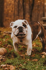 Preview iPhone wallpaper Bulldog play ball in the forest, autumn