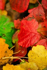 Colorful autumn leaves, yellow, red, green