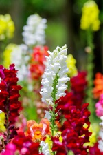 Colorful snapdragons flowers