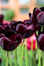 Preview iPhone wallpaper Dark tulips, purple flowers