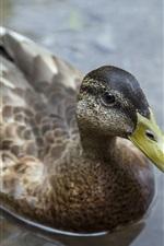 Preview iPhone wallpaper Duck in water