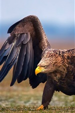 Preview iPhone wallpaper Eagle walk on ground, wings
